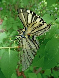 swallowtail-343307_1280